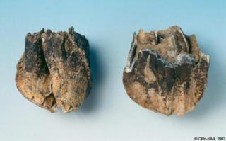 Dent de rhinocéros laineux