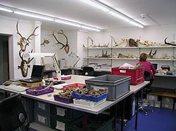 Archéozoologue au travail