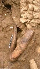 Défenses de mammouth