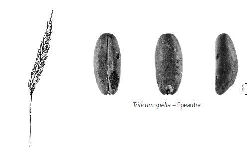 Céréale cultivée - épeautre