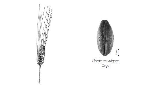 Céréale cultivée - orge